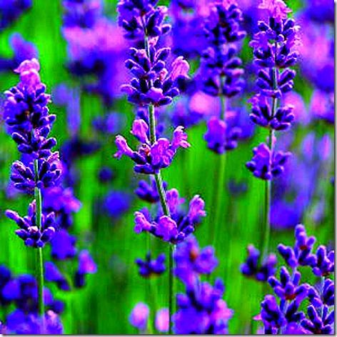 Lavender in Bloom 3