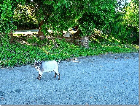 Pizza Goat
