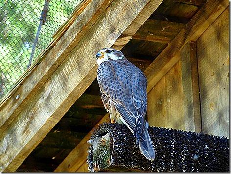 Praire Falcon