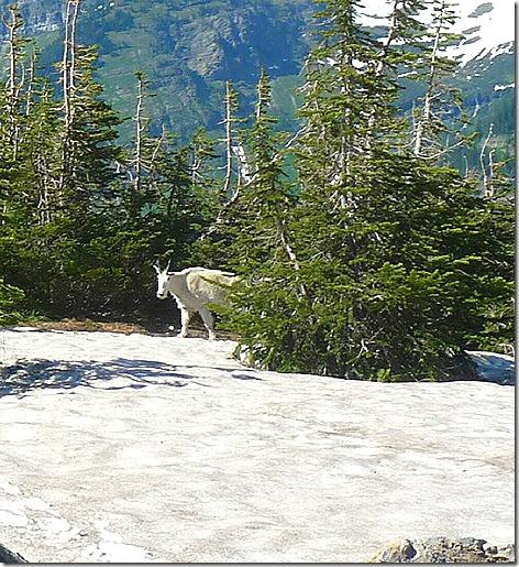 GNP Mountain Goat 2