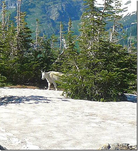 GNP Mountain Goat 2