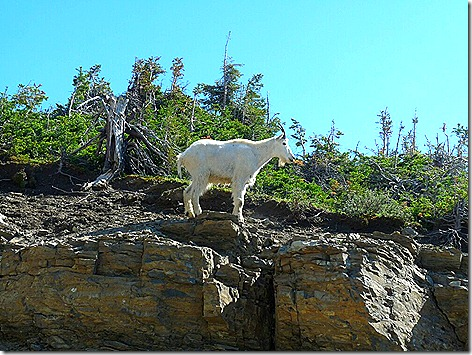 GNP Mountain Goat