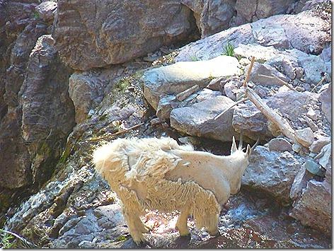 Goat Lick Goats 2