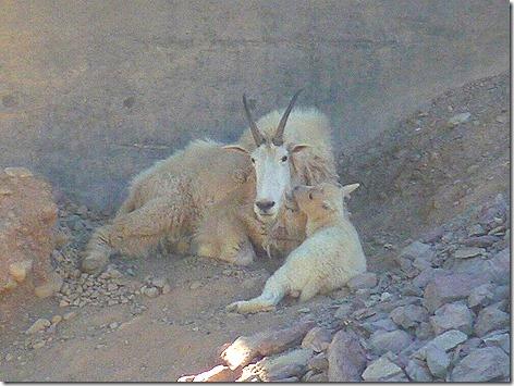 Goat Lick Goats 3