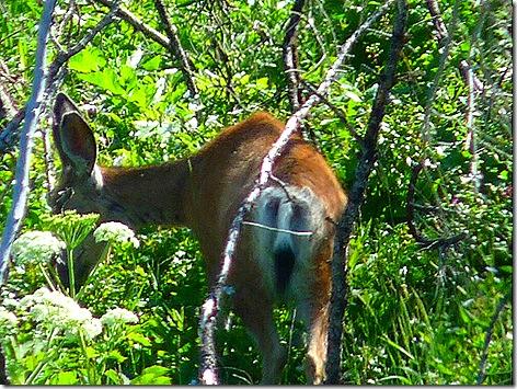 GTNP Elk 1