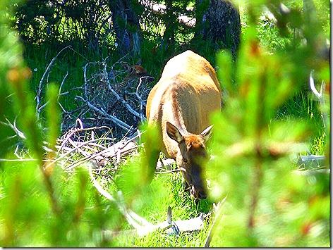 GTNP Elk 2
