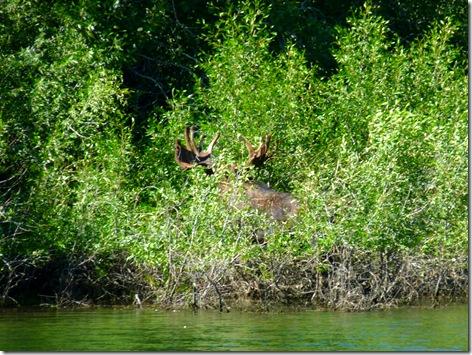 GTNP Moose 1