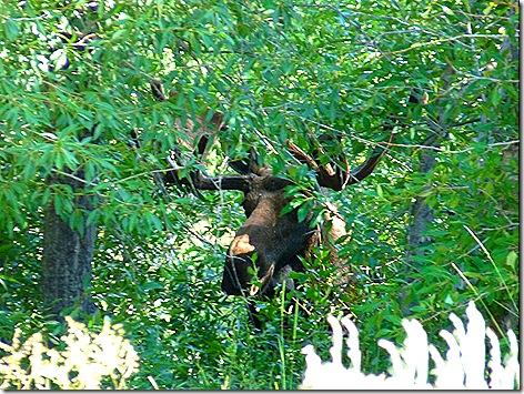 GTNP Moose 3