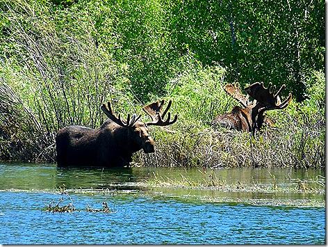 GTNP Moose 9