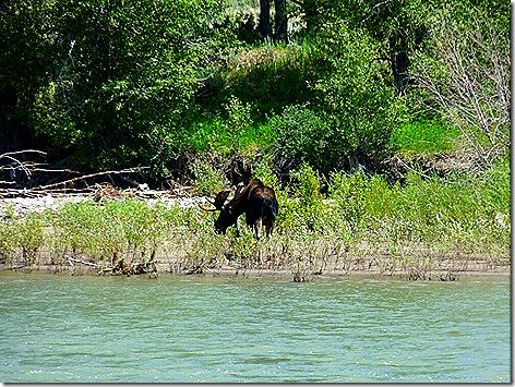 Moose Junction Moose 1