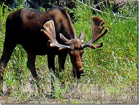 Moose Junction Moose 2