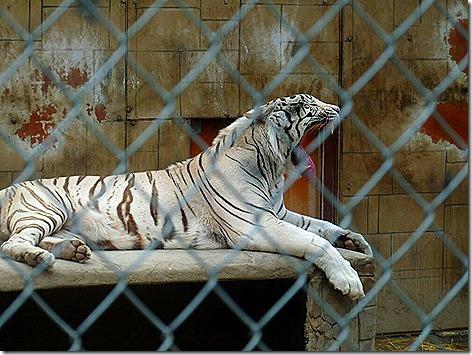 Royal White Bengal Tiger 1