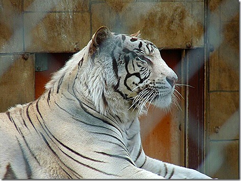 Royal White Bengal Tiger 3