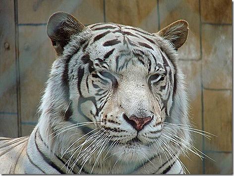 Royal White Bengal Tiger 4