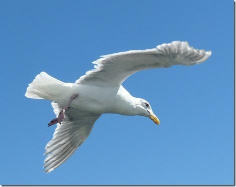 Seagull Feeding 1
