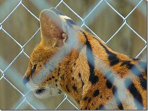 Serval Cat 3