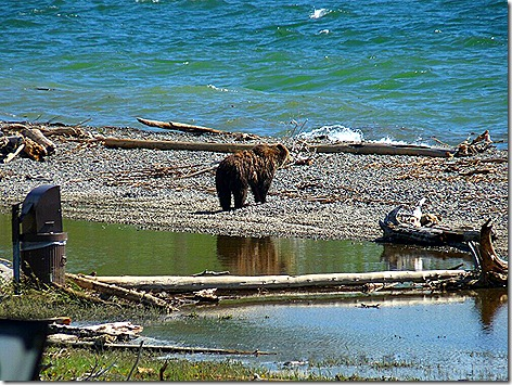 Yellowstone Bear 1