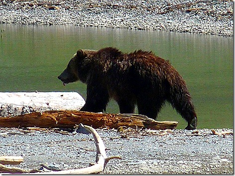 Yellowstone Bear 2