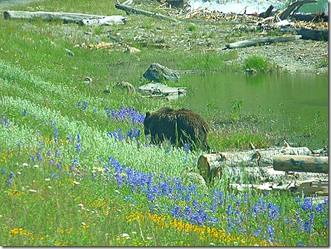 Yellowstone Bear 3