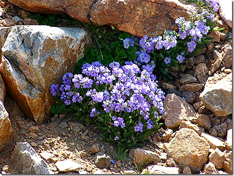 BearTooth Flowers 1