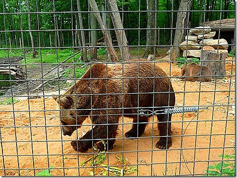 Grizzlie Bear 1