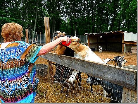 Jan Feeding Goat