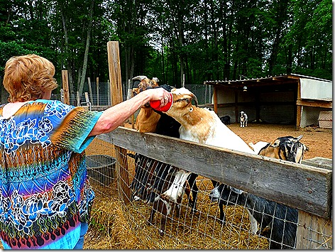 Jan Feeding Goat