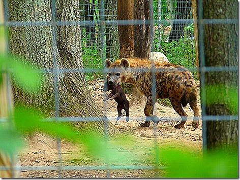 Mommy Hyena