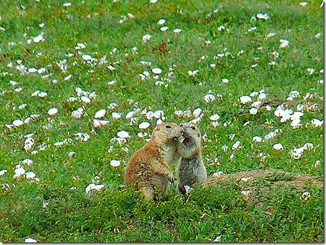 Prairie Dogs 1