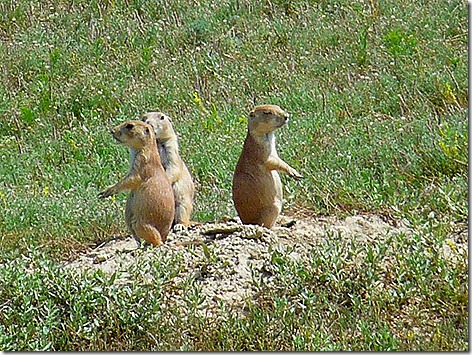 Prairie Dogs 3