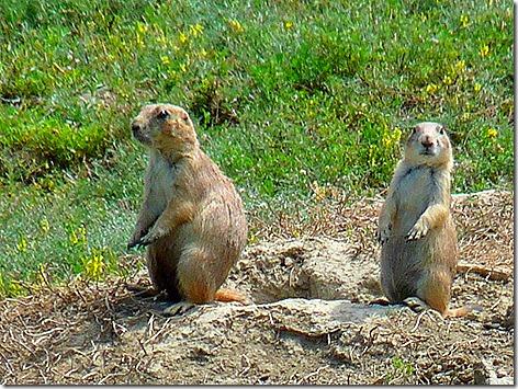 Prairie Dogs 4