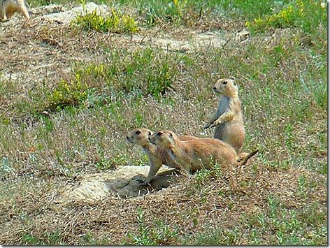 Prairie Dogs 5