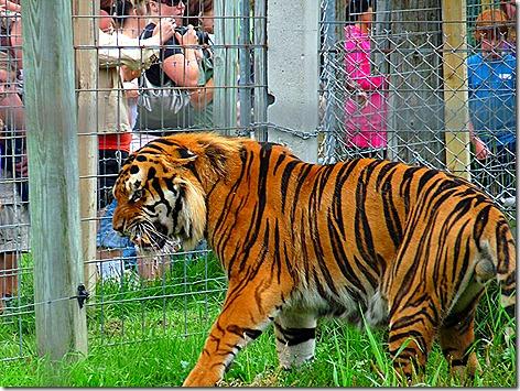 Tiger Eating 1