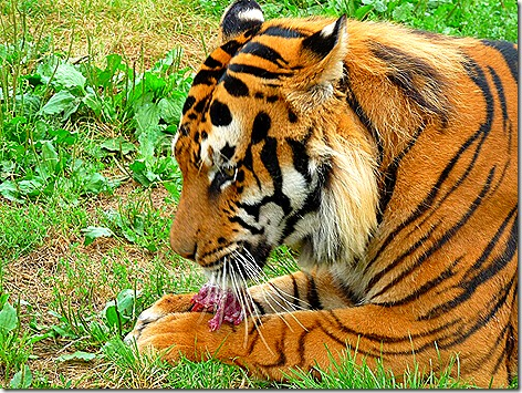 Tiger Eating