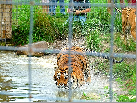 Tiger on the Run 1