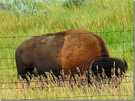 TR Buffalo 2