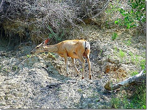 TR Deer