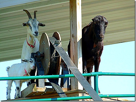 Goats on the Roof 1