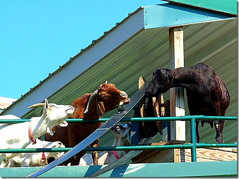 Goats on the Roof 2