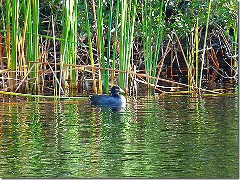Gulf State Park Duck
