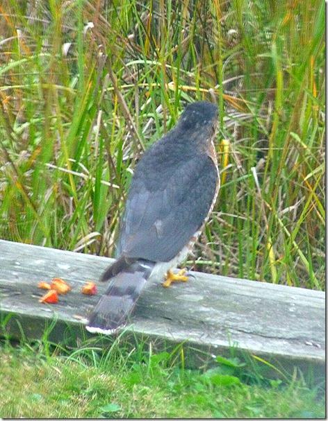 Galverton Bay Hawk 2