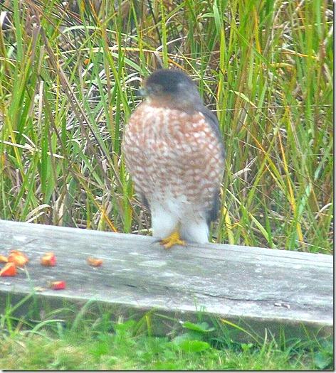 Galverton Bay Hawk 3