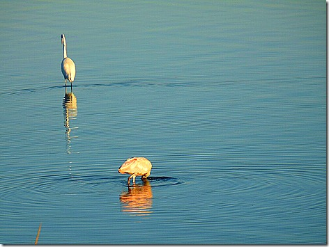 Egret and Spoonbill