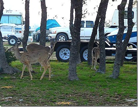 Lake Pointe Deer 4