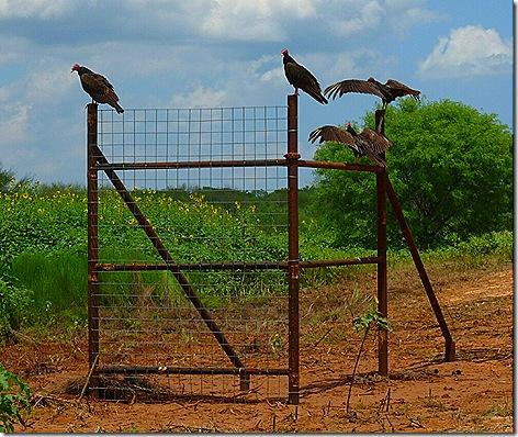 Charlotte Site Vultures 2