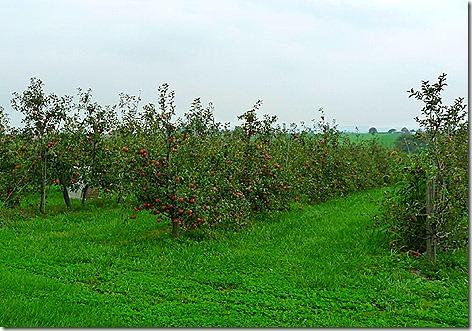 Amish Apples 1
