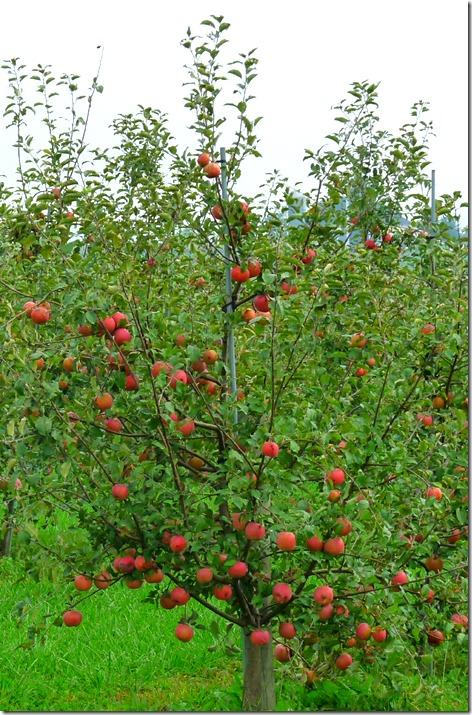 Amish Apples 2