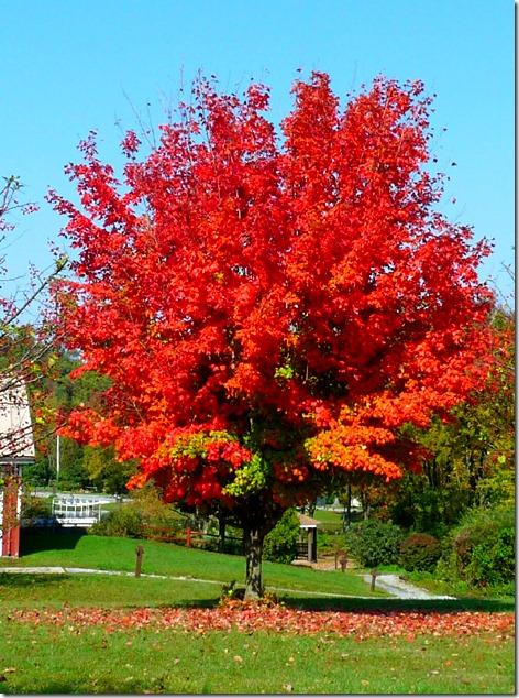 Hershey Tree Color