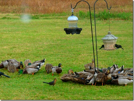 Birdfeeder Ducks 2