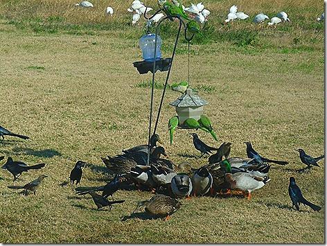 Ducks and Ibisies